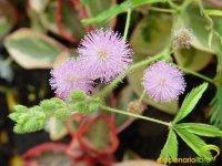 DiccionarioLibre - Mimosa Púdica