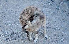 DiccionarioLibre - perro realengo